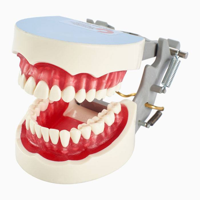 Dental Hygiene Dentoforms