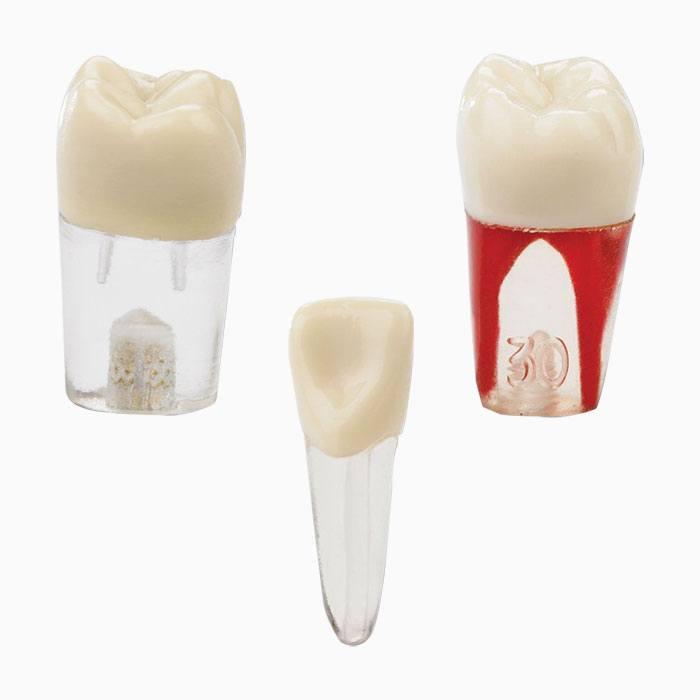 860 Series Simulation Endodontic Teeth